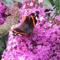 De vlinders leiden me af